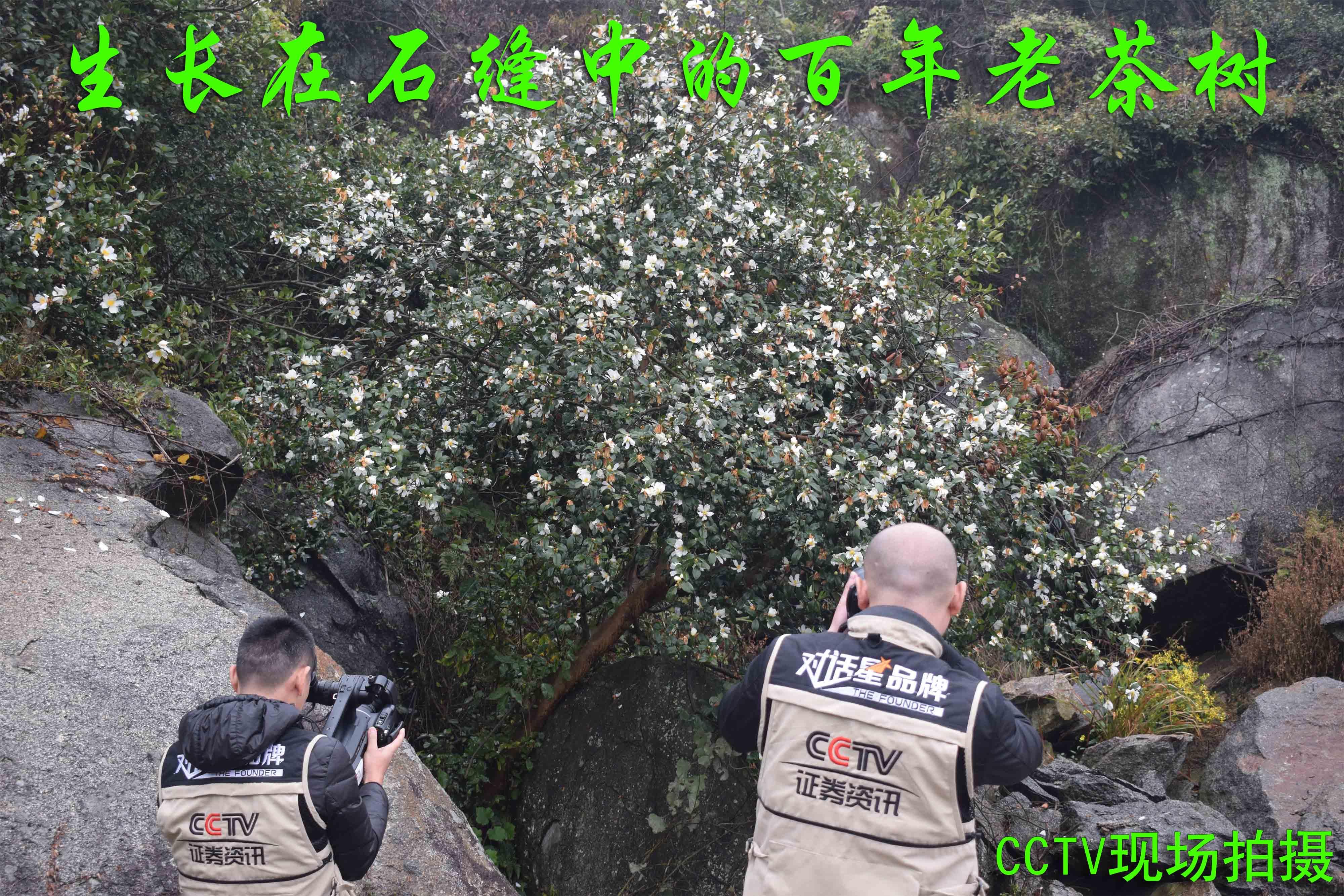 CCTV古茶林中拍攝.JPG