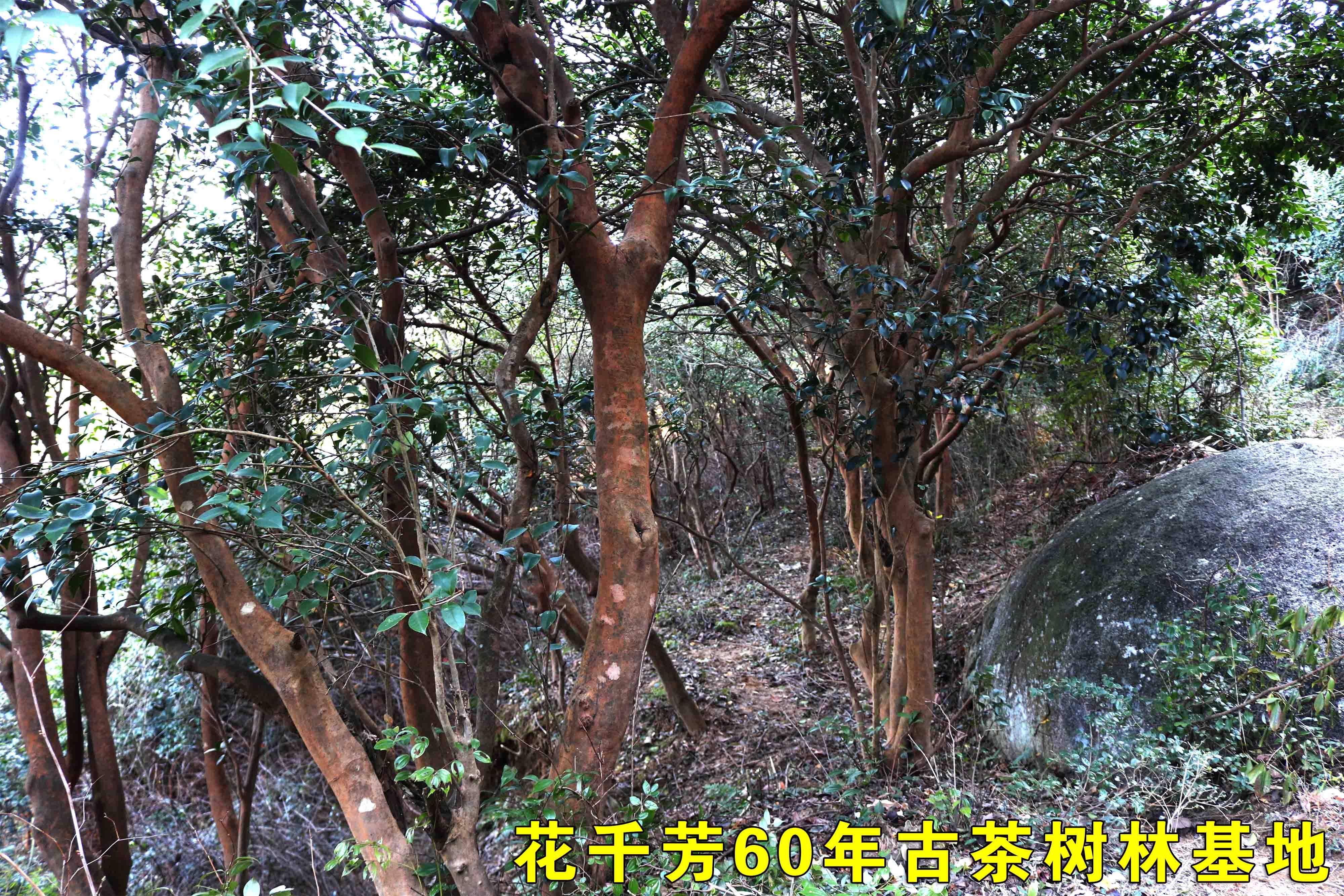 古茶樹林1.JPG