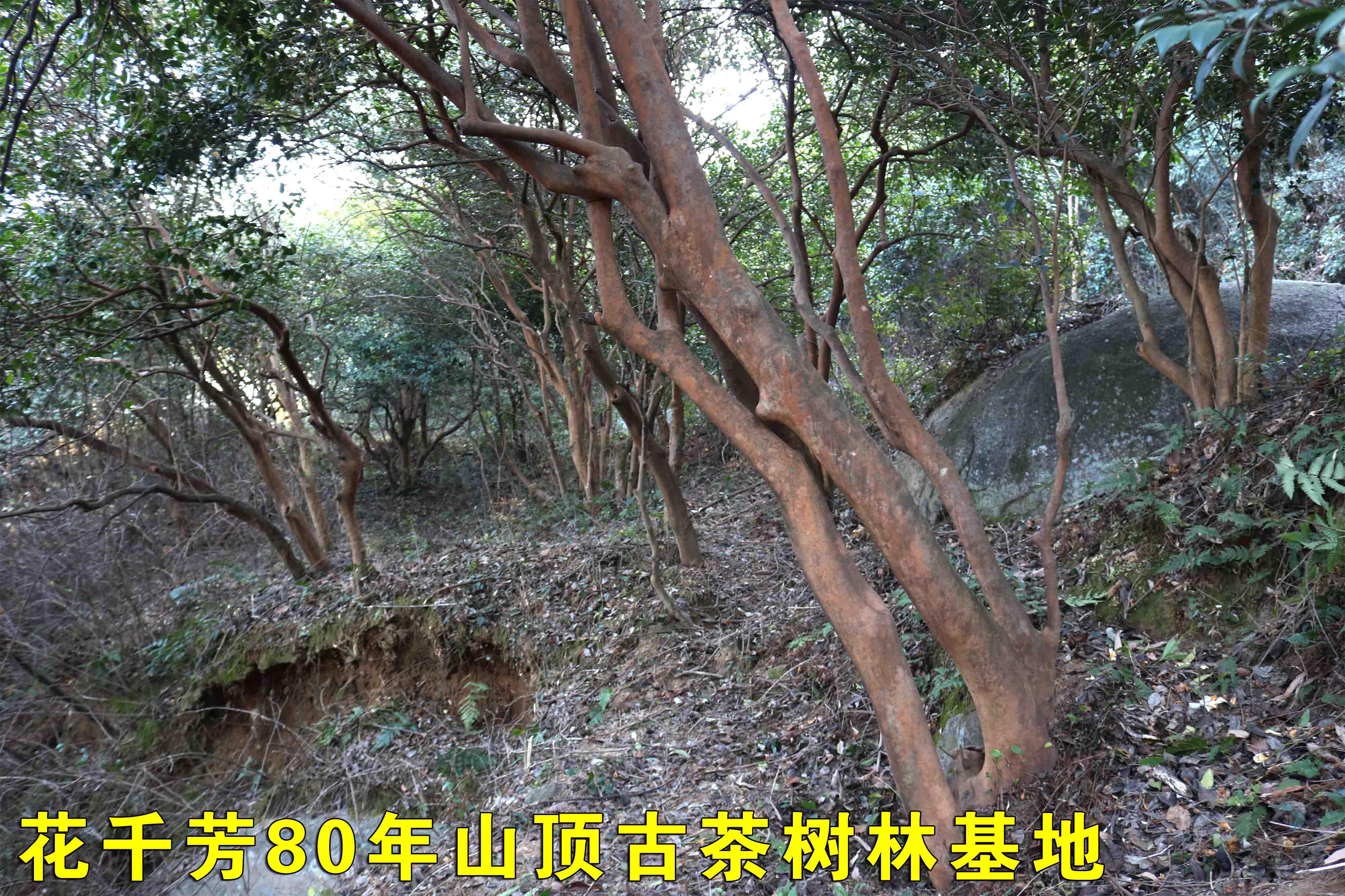 古茶樹林.JPG