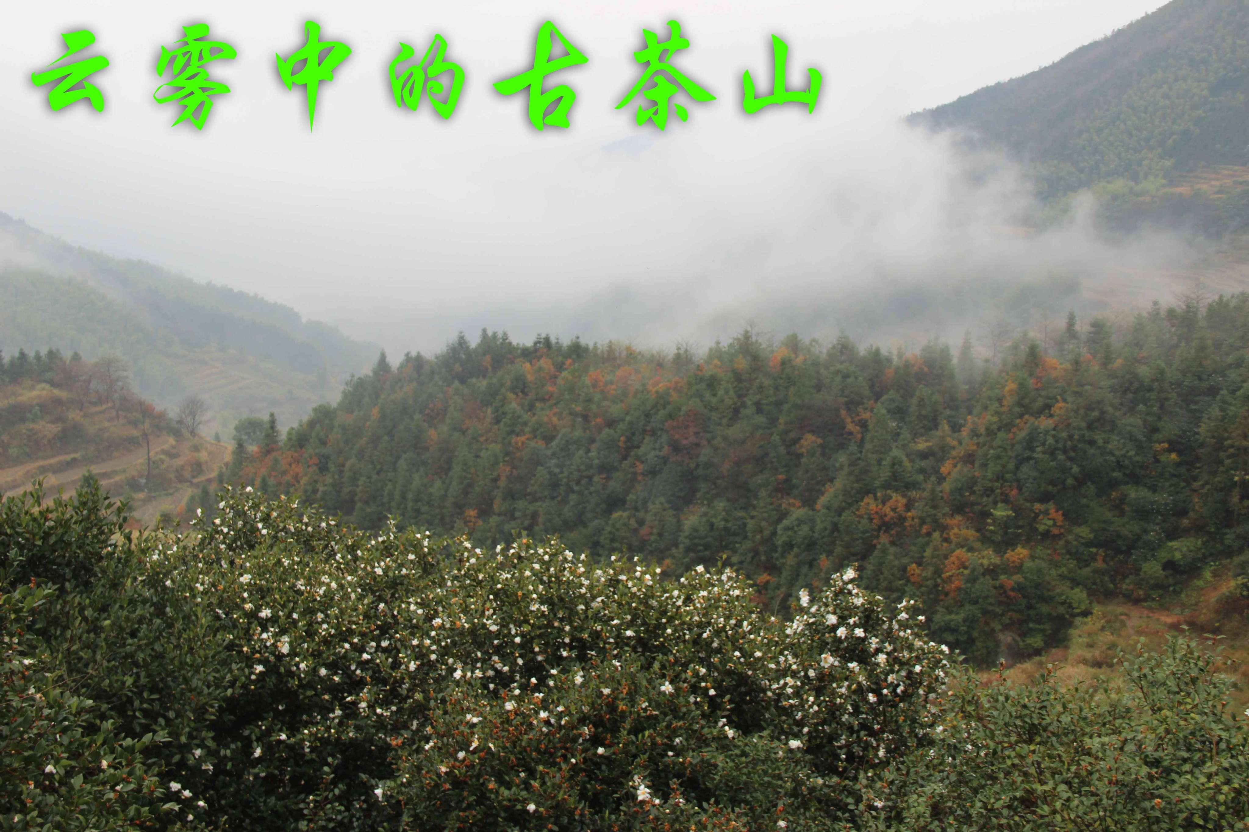 雨中古茶樹林.jpg