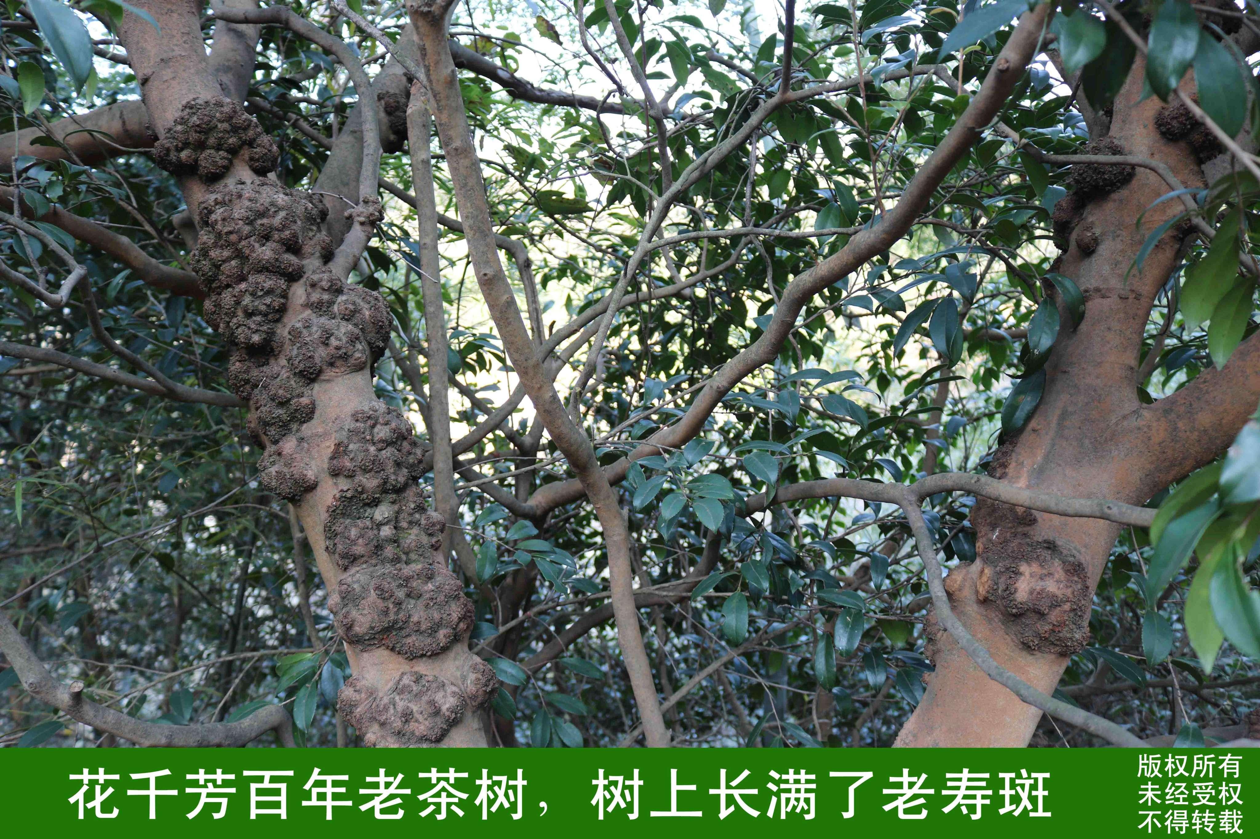 長壽斑的古茶樹.JPG